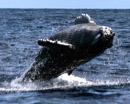 humpback whale calf whale watching oahu