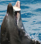 bottlenose dolphins with reef fish