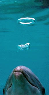 bottlenose dolphin bubble blowing