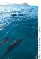 spinner dolphins Waianae