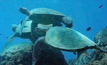 snorkeling with turtles oahu hawaii