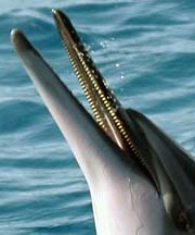 spinner dolphins have the most teeth of any dolphins, they are sharp!