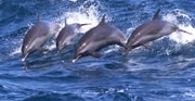 Spotted dolphins in Hawaii