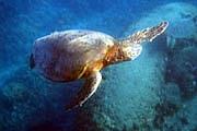turtle snorkeler