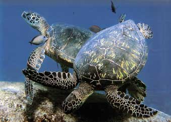green sea turtles at cleaning station