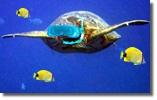 oahu turtle snorkel